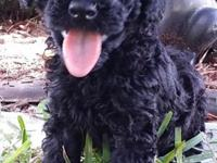 Miniature Schanuzer Pups for Sale in Miami, Florida Classified