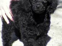 If a healthy true miniature poodle is what you want.
