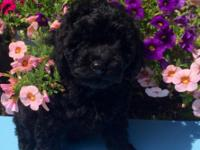 Healthy and cute Black Baby Poodle Puppies 2 Guys and 3
