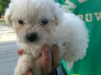 I have 1 (8 week old) white male miniature poodle puppy