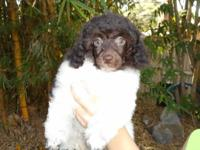 Mickey is a stunning little Chocolate & White Parti