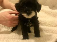 Can go home now! Atticus is a parti miniature poodle.