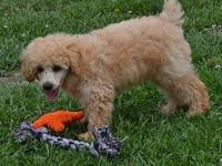 Dusty is an adorable little miniature poodle! He is