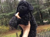 Pepper is from a litter of 4 poodles,all males Bon to