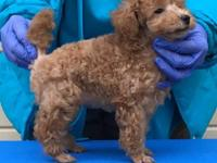 Adorable light red puppy, AKC Champions on both sides