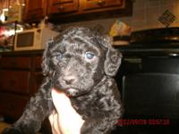 Miniature Poodle Pups, CKC reg., Raised inside with
