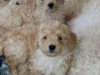 ADORABLE mini poodle pups, ready now, first shots