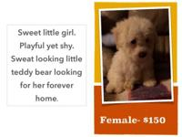 Hello, I have 2 male and 1 female miniature poodles for