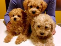 Adorable Miniature Poodles Now Ready 2 Males,1 female