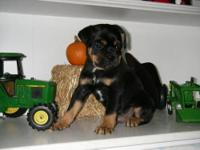 Adorable Sweet, Miniature Rottweiler Ready to Meet a