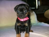 RESERVE NOW =Valentines Day Miniature Rottweiler For