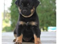 Definitely Adorable Miniature Rottweiler puppies 16th