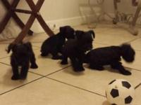I have 4 beautiful pure-breed black mini schnauzer