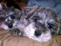 What you need to know about Miniature Schnauzer: **