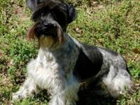 His name is Hudson. Miniature Schnauzer CKC Parti Male.