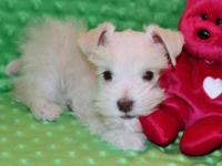 Miniature Schnauzer Puppy - Precious Teacup This very