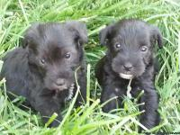 Miniature Schnauzer male puppies for sale. Mother and