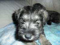 I have 5 beautiful miniature schnauzers Salt & Pepper