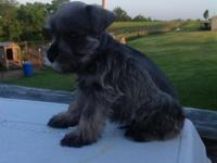 I have 2 male mini schnauzers left. 2 salt and pepper