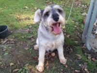 Charlie is a one year old male miniature schnauzer. He