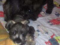 9 week old male miniature schnauzer, salt and