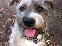 Skylar is a Miniature Schnauzer and American