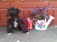 I have this little boy Miniature Schnauzer boy puppy