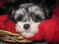 I have 4 Miniature Schnauzer puppies for sale. 8 weeks