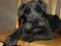 Miniature Schnauzer Male CKC 6 months old.