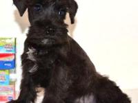 CKC Reg. Black/Silver Miniature Schnauzer Male. He has