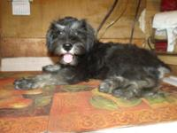 AKC Miniature Schnauzer female for sale. Dark salt &