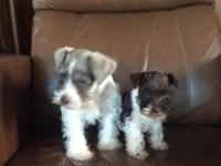 Snickers and Coco are liver parti schnauzers, snickers