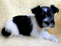 Quality bred 8 week old male miniature schnauzer puppy