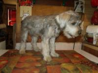 AKC Miniature Schnauzer male for sale. Liver-pepper, 14