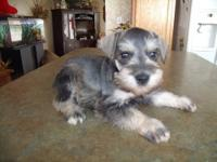 Absolutely Gorgeous Miniature Schnauzer Males. They
