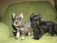 Miniature Schnauzer Puppies:  Their ears are