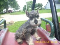 Miniature Schnauzer Puppies: Ears cropped, shots are up