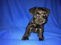 I have Miniature schnauzers puppies 4 Beautiful babies