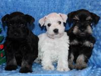 Last 3 schnauzer puppies! for Sale in Perris, California Classified