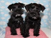 These lovely black mini schnauzer puppies are very