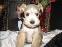 CKC Miniature Schnauzer Male puppies, white and