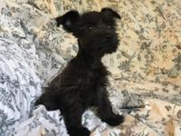 Mini Schnauzer puppies looking for forever homes! Pups