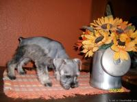 Puppies are Ready !!! Miniature Schnauzer puppies for
