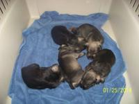 New puppies born 1-5-14 and 1-9-14. All are UKCI
