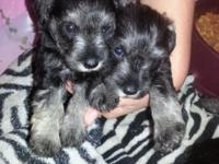 Lovely miniature schnauzer young puppies will be