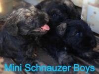 I have 3 CKC kid mini schnauzer young puppies, salt and