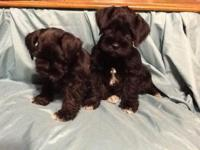 Miniature Schnauzers. 2 male and 2 female. All set for