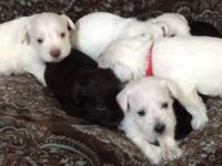 2 puppies left 1 white chocolate male and 1 white