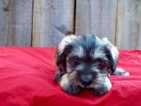 I have 4 Mini Schanauzer Puppies - 2 Female - Salt and