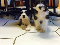 Toy/Small Miniature Schnauzer Puppies. Whelped June 1,